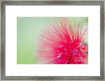 Powderpuff Flower Framed Print by Ivy Ho