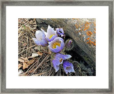 Praire Crocus Framed Print by Gerry Bates