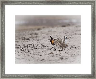 Prairie Chicken 2013-1  Framed Print by Thomas Young