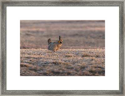 Prairie Chicken 2013-10 Framed Print by Thomas Young