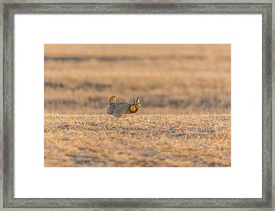 Prairie Chicken 2013-11 Framed Print by Thomas Young