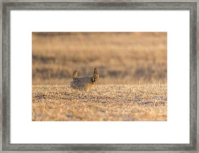 Prairie Chicken 2013-12.jpg Framed Print by Thomas Young
