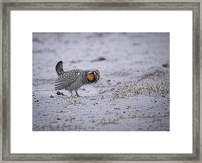 Prairie Chicken 2013-2 Framed Print by Thomas Young