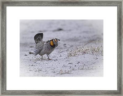 Prairie Chicken 2013-3 Framed Print by Thomas Young