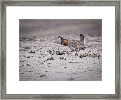 Prairie Chicken 2013-4 Framed Print by Thomas Young