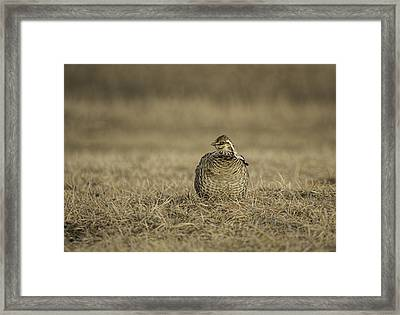 Prairie Chicken 2013-5 Framed Print by Thomas Young