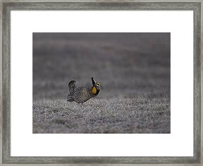 Prairie Chicken 2013-7 Framed Print by Thomas Young