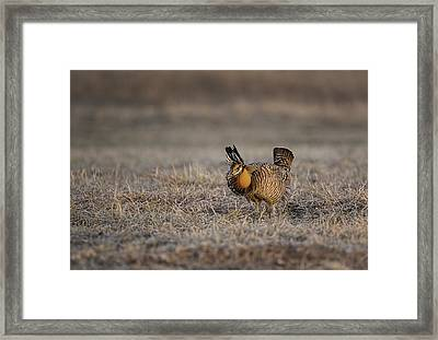 Prairie Chicken-8 Framed Print by Thomas Young