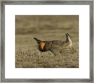 Prairie Chicken-9 Framed Print