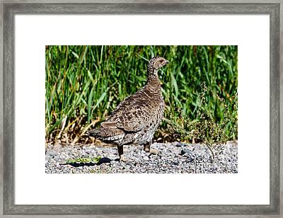 Framed Print featuring the photograph Prairie Chicken Run by Janice Rae Pariza