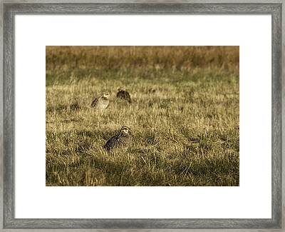 Prairie Chickens After The Boom Framed Print
