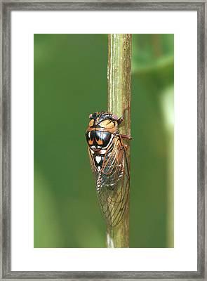 Prairie Cicada (tibicen Dorsata Framed Print by Richard and Susan Day