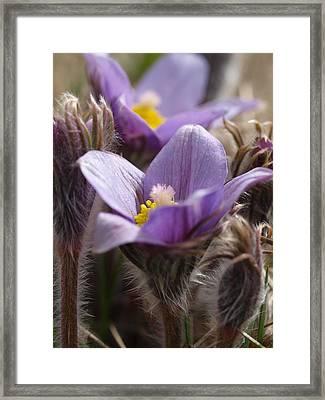Prairie Crocus Framed Print