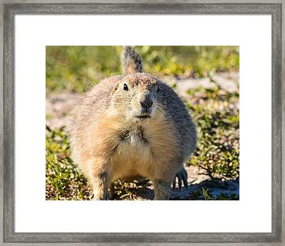 Prairie Dog 3 Framed Print by Robin Williams