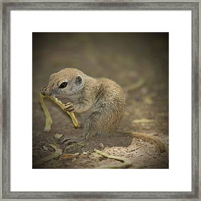 Prairie Dog Framed Print by Melanie Viola