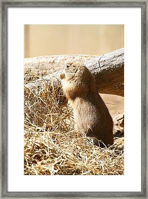 Prairie Dog - National Zoo - 01135 Framed Print by DC Photographer