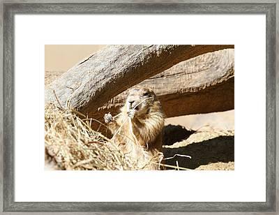 Prairie Dog - National Zoo - 01137 Framed Print by DC Photographer