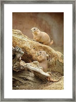 Prairie Dogs Framed Print