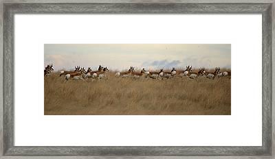 Prairie Pronghorns Framed Print