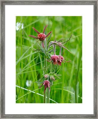 Prairie Smoke Three Flowered Avens Framed Print