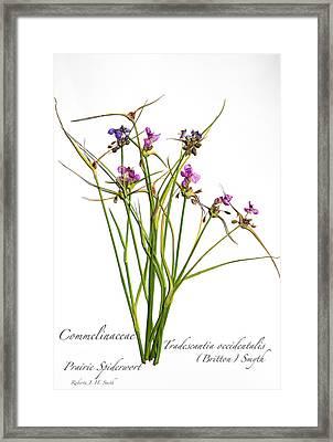 Prairie Spiderwort Framed Print