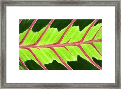 Prayer Plant Leaf Abstract Framed Print by Nigel Downer