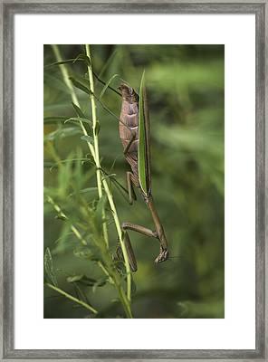 Praying Mantis 001 Framed Print