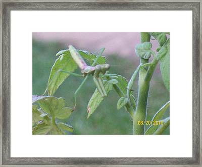 Praying Mantis Framed Print by Belinda Lee