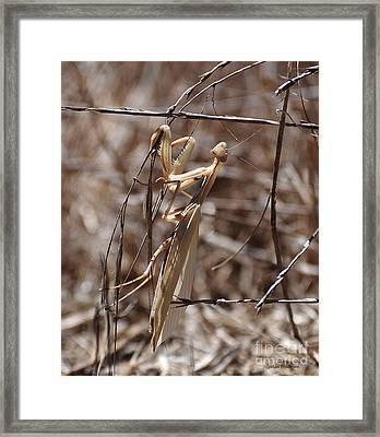 Praying Mantis Blending In Framed Print