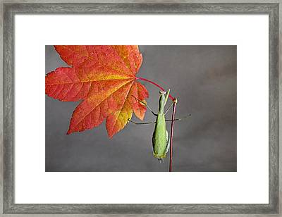 Praying Mantis Framed Print by Buddy Mays
