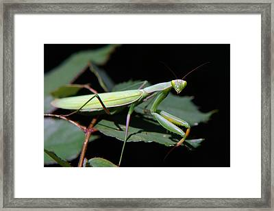 Praying Mantis Framed Print by Christina Rollo