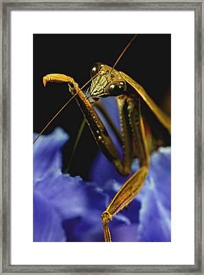 Praying Mantis  Closeup Portrait 2 On Iris Flower Framed Print