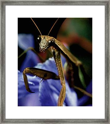 Praying Mantis  Closeup Portrait 4 On Iris Flower Framed Print