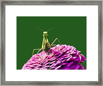 Praying Mantis Framed Print by David Simons