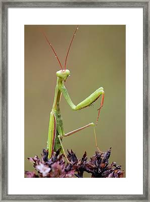 Praying Mantis Framed Print by Heath Mcdonald