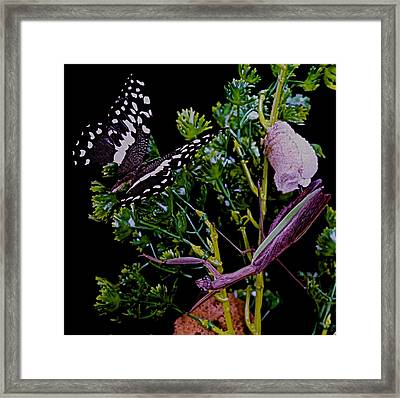 Praying Mantis Laying Her Egg Casing And Protecting Her Young  Framed Print by Leslie Crotty