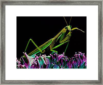Macro Closeup Of The Chinese Mantis Walking On A Cactus Plant Framed Print