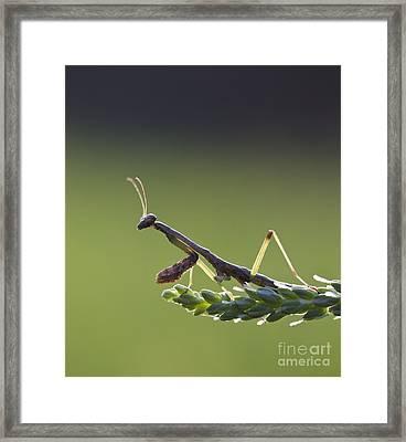 Praying Mantis Macro In The Sunlight Framed Print by Brandon Alms