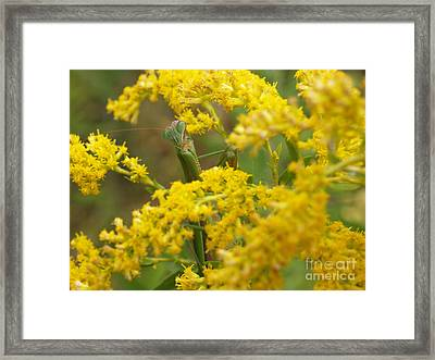 Praying Mantis On Goldenrod Framed Print by Anna Lisa Yoder