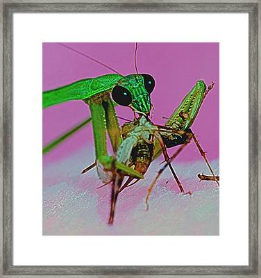 Praying Mantis  Predator Of Insects  2 Of 2 Framed Print