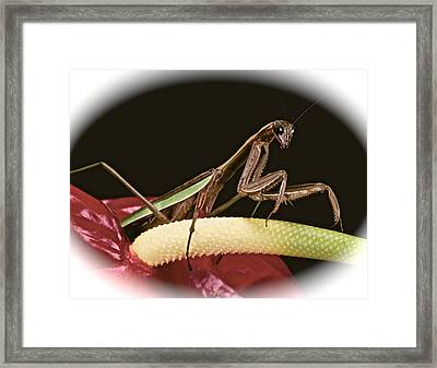 Praying Mantis Taking A Walk On The Anthurium Flower With A White Mat Finish Framed Print