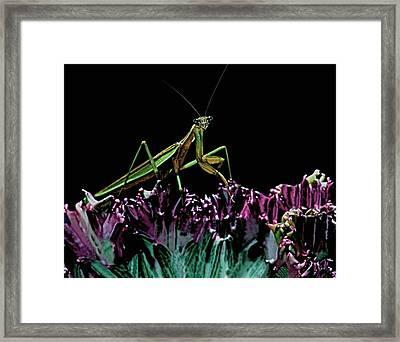 Praying Mantis  Walking On Cactus Plant Looking At Me Framed Print