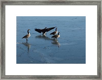 Precarious Walk On The Ice - Canada Geese Lake Ontario Toronto Framed Print