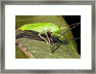 Predatory Katydid Eating A Stick Insect Framed Print by Dr Morley Read