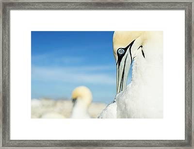 Preening Adult Cape Gannet Framed Print by Peter Chadwick