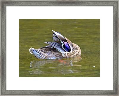 Preening Duck Framed Print