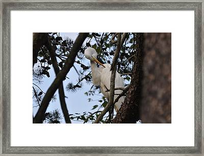 Preening Egret On Branch - 4272a  Framed Print by Paul Lyndon Phillips