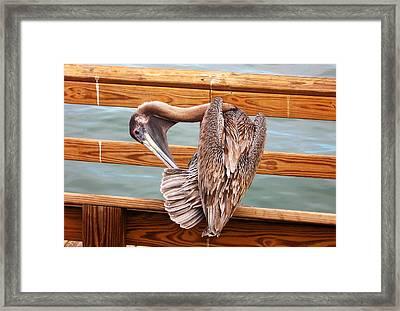 Preening Framed Print by Ginny Schmidt
