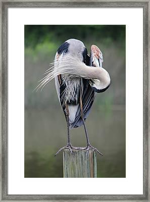 Preening Heron Framed Print