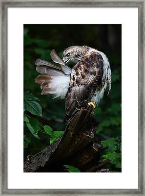 Preening Framed Print by Mike Farslow